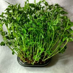 #microgreens #microfarm #pea_shoots gone wild! 8 days from seed to forest by microfarms