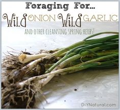 Foraging Wild Onion Wild Garlic and Other Cleansing Spring Herbs From wild onion and wild garlic to chickweed and plantain, foraging wild edibles in early spring is both bountiful and cleansing. Gather with care and enjoy! Healing Herbs, Medicinal Plants, Weed Killer Homemade, Wild Onions, Edible Wild Plants, Be Natural, Natural Things, Natural Health, Survival Food