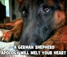 German shepherd apology. Too true. 3 remotes, blinds, couch, recliner, flooring, dresser, and crate later... This look still fixes everything.