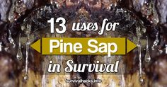 Did you know that pine resin can be used in numerous ways for survival purposes?
