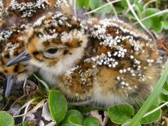 A sandpiper chick. Too adorable!
