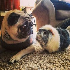 Unlikely friends, like a dog and a guinea pig, can still be close.  | The Secret…