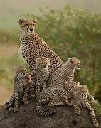 Animals, baby animals, cute animals, wild life animals, animals and p Big Cats, Cats And Kittens, Cute Cats, Siamese Cats, Nature Animals, Animals And Pets, Wild Animals, Beautiful Cats, Animals Beautiful