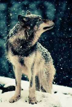 wolves are beautiful animals!