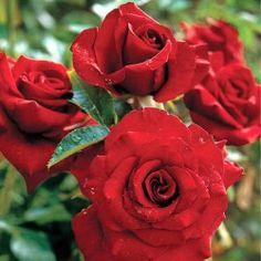 https://gradinamax.ro/ - Trandafir floribunda Black Cherry 3+1 gratis