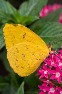 Florida Butterfly Orange-barred Sulphur (Phoebis philea)