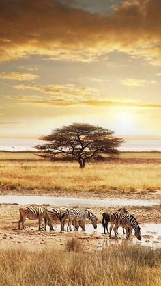 Zebra's In The Namibia Desert