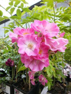 rambler rose 'Blush Rambler'