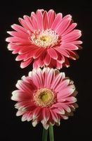 Perennial Daisy Varieties thumbnail