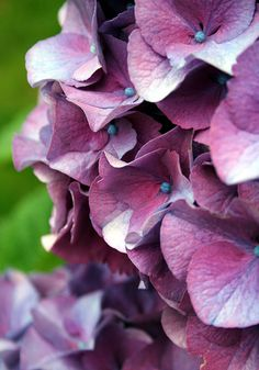 hydrangea by something to see Hortensia Hydrangea, Hydrangeas, Hydrangea Tattoo, Shades Of Violet, Flowers Nature, Flower Pictures, Watercolor Flowers, Flower Power, Peonies