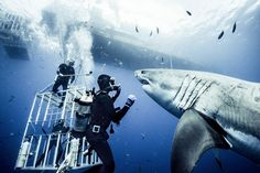 Great white, Guadalupe Island, August 2012. Shark behaviorist Brocq Maxey interacts with this feisty 15-foot male shark