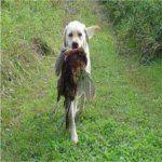 Las 10 Mejores Razas de Perros de Caza | Blog Perro golden retriever