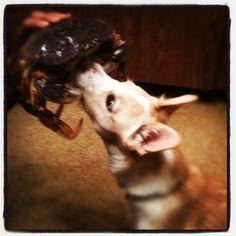 Maile sniffs crab