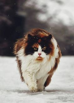 James the Black Smoke Norwegian Forest Cat Cool Cats, I Love Cats, Beautiful Cats, Animals Beautiful, Cute Animals, Winter Cat, Calico Cats, Norwegian Forest Cat, Feral Cats