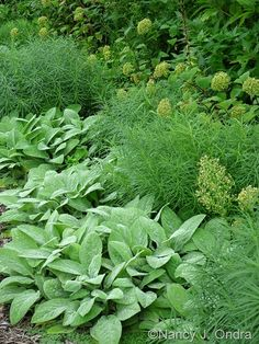 'Big Ears' lamb's ears (Stachys byzantina) with Arkansas bluestar (Amsonia hubrichtii) and Invincibelle Spirit smooth hydrangea (Hydrangea arborescens Garden, Silver Plant, Plants, Shade Garden, Perennials, Garden Bloggers, Hydrangea Arborescens, Stachys Byzantina, Nature Garden