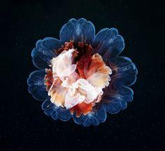 Toute la grâce de la méduse vue par Alexander Semenov