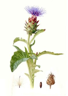 CarolynJenkins-Folio-Illustration-Agency-Watercolour-Botanical-Horticultural-Realism-Cynara-L.jpg 498×700 ピクセル