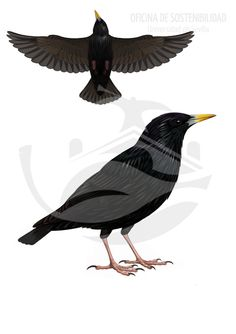 ESTORNINO NEGRO. Paseriforme de tamaño mediano 19-22 cm. De tonalidad homogenea y color oscuro, fuertemente contrastado por el color amarillo del pico y el tono anaranjado de las patas, ambos caracteres muy presentes en los machos adultos en época estival.