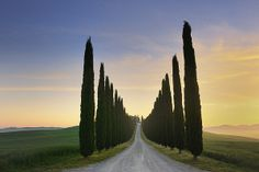 Rural road lined with Cypress Trees leading to de farmhouse on de hill in Tuscany, Val d'Orcia, San Quirico d'Orcia_ Italy