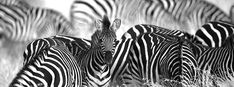 Nature in black and white by Charl Senekal Reception Areas, Zebras, Interior Decorating, Creatures, Black And White, Gallery, Nature, Prints, Photography