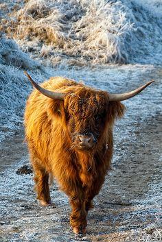 Highland Cow : photo parfaite