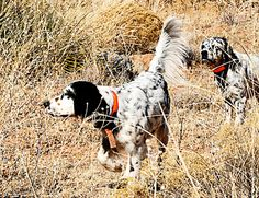The Llewellin Setter adherence and attention to detail in breeding gave way to a field dog of great enough repute that most dog enthusiasts today consider it apart from the English Setter.