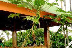 Papaya plants, Costa Rica 2005