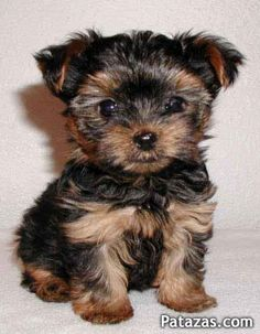 53 Best Yorkie Poos Images Cute Baby Dogs Cute Puppies Small Dogs