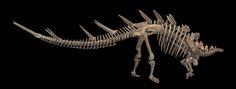 1280px-Kentrosaurus_aethiopicus_01.jpg (1280×487) - Squelette partiel lectotype. Museum für Naturkunde Berlin. Dinosauria, Ornithischia, Thyreophora, Stegosauria, Stegosauridae. Auteur : H. Zell, 2011.