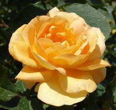 Honey Perfume - one of the most fragrant roses ever!