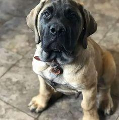Big Puppies, Black Lab Puppies, Big Dogs, Corgi Puppies, English Mastiff Puppies, English Mastiffs, Equine Photography, Animal Photography, Black Labrador