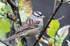 White crowned sparrow by Mark Zimmerman on 500px