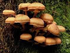Opieńka miodowa - Armillaria mellea