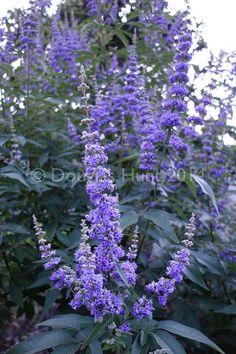 Hometalk :: Five reasons you should plant a Vitex (large shrub/small tree).