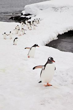 So brave, so fragile, so fat and waddling. Got to love the penguins.