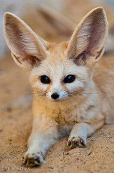 Tunisie-fennec fox. Foxes are one of favprite animals. But I love them all <3