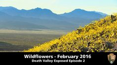"""In what could be a rare 'super bloom', Death Valley is transforming from a valley of death to a valley of life. """"If you get the chance to see a bloom in Deat..."""