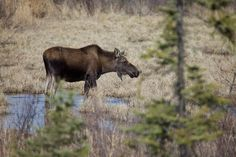 While several species will struggle to survive climate change, a few animals may benefit from the rising temperatures. Specifically, the moose and snowshoe hares in the Arctic regions would benefit…