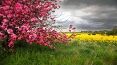 Floral tree and yellow mustard field in Colorado HD Wallpapers, Wallpapers For Desktop, Android, Iphone,nature wallpapers,anime wallpapers,car wallpapers