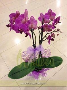 Orhidee mov-lila phalaenopsis la ghiveci