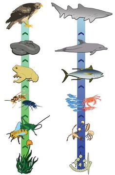 Here's an idea for creating a food chain on a ribbon. IArrows show flow of energy. Use with Apologia Zoology, Apologia Flying Creatures, Apologia Swimming Creatures, Apologia Land Animals for homeschool science Primary Science, 4th Grade Science, Middle School Science, Elementary Science, Science Classroom, Teaching Science, Science Education, Science For Kids, Science And Nature