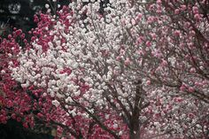 This is exactly the same as our three ornamental flowering fruit trees but in different order.  Ours are white, pale pink, and dark pink.  So, so pretty when they all flower together which doesn't happen often.