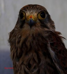 Kestrel by Paul Corrin on SnapThePlanet.com Kestrel, Photo Hosting, This Is Us, Photography, Animals, Animais, Fotografie, Animales, Animaux