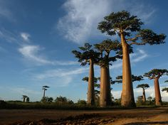 """""""Avenue of the Baobabs"""" in Madagascar. Only a few isolated trees are left to represent the once thick forest. Since the arrival of people 2000 years ago 90% of the forest has been cut down."""