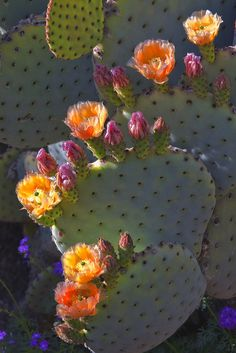 Arizona Flowers The Effective Pictures We Offer You About Cactus jack A quality picture can tell you many things. You can find the most beautiful pictures that can be presented to you about Cactus dib Cacti And Succulents, Planting Succulents, Cactus Plants, Planting Flowers, Indoor Cactus, Cacti Garden, Flowers Garden, Flower Plants, Succulent Planters