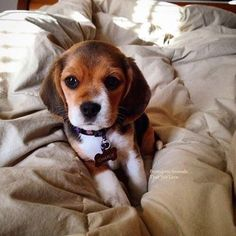 Beagle Puppy ^.^ ♡ I give good credit to whoever took this photo