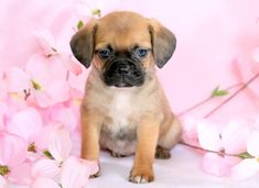 Secret | Keystone Puppies: Puppies for Sale | Health Guaranteed    #puggle  #keystonepuppies Puggle Puppies For Sale, Puppies Puppies, The Secret, Health, Dogs, Animals, Health Care, Animaux, Doggies