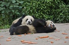 Exhausted pandas