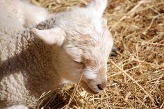 Baby lamb at Coggeshall Farm Museum in Bristol, Rhode Island