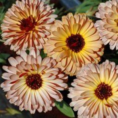 RINGBLOMMA 'Peach Sherbet' i gruppen Ettåriga blomsterväxter hos Impecta Fröhandel (8202)